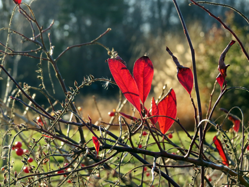 Red leaves 1-1-17