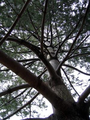 Pine_trunk_227