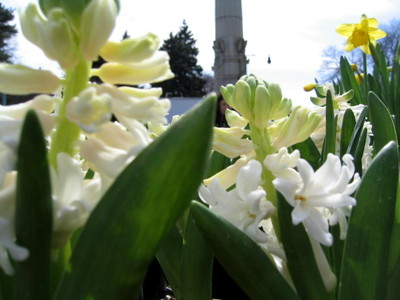 Hyacinths_322