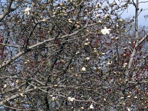 Magnolia_326