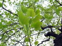 Tulip_tree_leaf