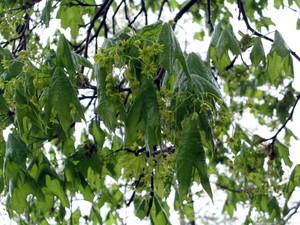 Parsley_leaves_428