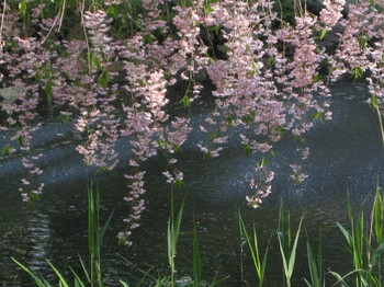 Weeping_cherry_430